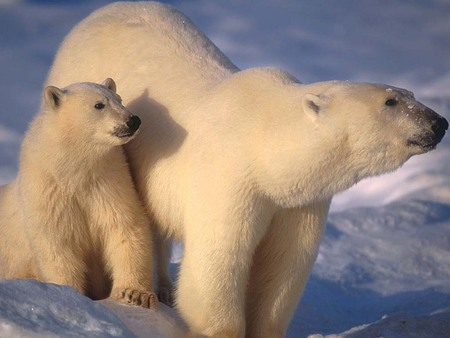 Mother and cub polar bear - tundra, artic, wild, bear, wildlife, polar, animal