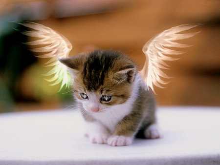 Angel Kitty - cattish, background, sweet, nice, wallpaper, mujlticolor, wings, kittenish, kitty, black, bugs, cat, cute, feline, cool, awesome, photoshop, fullscreen, eyes, cats, white, colorful, brown, beautiful, photography, catlike, beije, animals, photo, amazing, multi-coloured, muggins, colors, brings, desktop, colours, kitten