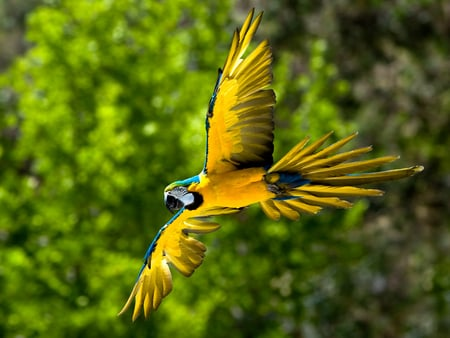 The Flight of Blue and Yellow Macaw - image, brasil, background, yellow, cenario, blue and yellow macaw, nice, multicolor, scenario, wallpaper, environment, facial feathers, paraguay, top, claws, wings, pic, cena, birds, trees, panorama, palms, arara-caninde, yellow-bellied, paraguai, cool, brazil, awesome, caninde, fullscreen, beaks, flagrant, colorful, arara, head, central america, flight, ara ararauna, beautiful, trunks, picture, leaves, green, macaws, scenery, yellow macaw, rows, bodies, blue, feathers, animals, black throat, amazing, colors, macaw blue-and-yellow plow, bolivia, leaf, ararauna, desktop, colours, parrots, branches, pc, scene