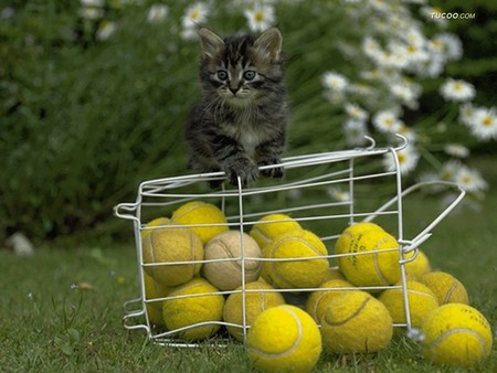 Image result for cats and tennis balls
