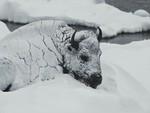 Frozen Bull