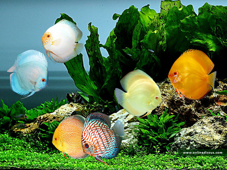 discus - water, fish, discus, aquarium, color, trees, animals