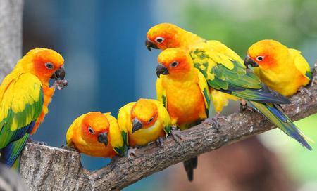 Jandaya-parakeet-parrots - birds, colors, bird, yellow, orange, animals, parrots, macaw, green