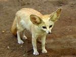 The Fennec Fox