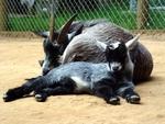 The Pygmy Goat