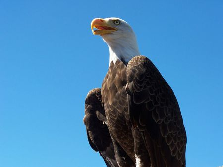 Bald Eagle - wings, plumage, head, symbol, usa, bird, large, beak, america, national bird, white, prey, feathers