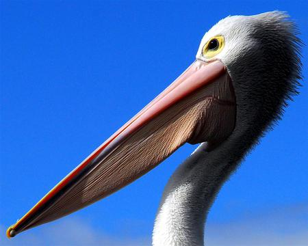 pelican face - pelican, bird, birds, nature, face, sky, animals, blue