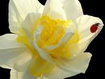 Daffodil and Lady Bug