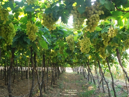 Grapes - grapes, pune, fruits, india, drip system, agriculture