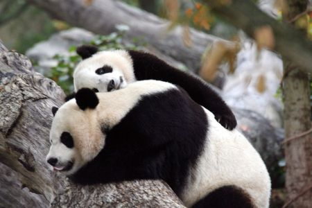I Love You Mommy - panda bears, bears, animals, mother love, panda bear, panda, mommy, cub, love