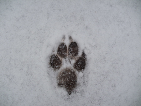 footprint - foot, snow, footprint, dog