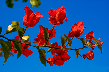 Spring in red - red, flowers, beautiful, spring, blue sky, bougainvillea, branch
