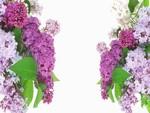 Lilacs so Lovely