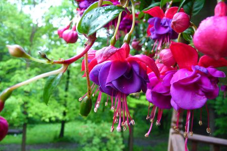 Purple and pink fuchsia flowers nature background wallpapers on purple and pink fuchsia purple flower flowers colors mightylinksfo