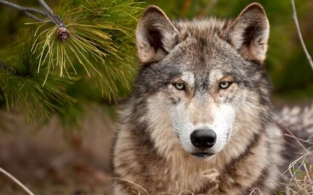 HANDSOME PREDATOR - wolf, a stern look, hamdsom, a predator, dog, wild
