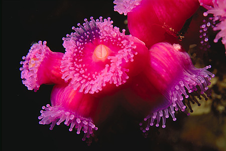 Jewel anemone - underwater, tentacles, sea anemone, vivid, vibrant, beautiful, pink