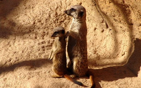 Meerkats - meerkat, cute, stone, suricate, beautiful, animals
