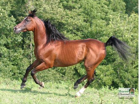 The Galloping Arabian Horse Horses Animals Background