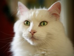 Sweet white cat