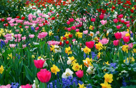 Field Of Flowers - colorful, hills, white, pink, other, branches, daffodils, rocks, flowers, daffodil, sky, peak, scene, reflection, scenery, flowers field, clouds, field of flowers, stoes, leaves, grass, photography, lake, red, tulip, mounts, landscape, blue, colors, tulips, mountains, trees, nature, yellow, beauty, beautiful, lovely, purple, spring, field, pretty, green, view, photo