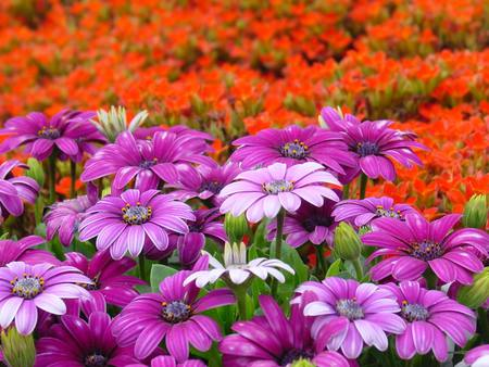 FIELDS OF FLOWERS - flowers, fields, purple, orange
