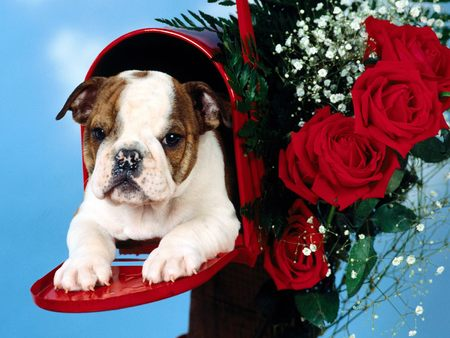 Untitled Wallpaper - valentine, puppy, roses, kierra, bulldog, mailbox