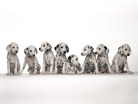 Dalmation Puppies Lined Up - puppies, dalmatian, line, dogs