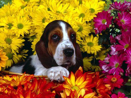 Spring Scents Basset Hound - basset hound