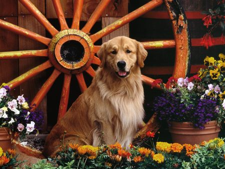Golden Retriever Garden - golden retriever
