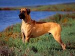 Great Dane Standing Profile