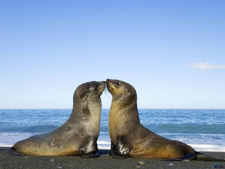 Seal kiss - seal, artic, snow, kiss, animal