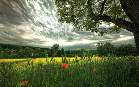 Poppies Field - beauty, lovely, flowers, spikeletes, landscape, poppy, green, red, beautiful, field, trees, nature, poppies, peaceful, storm, clouds, grass, view, colors, leaves, photography, sky, splendor, piece, wheat, tree