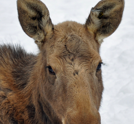 Here's Looking at you - moose, wildlife, nature, calf, animals, animal
