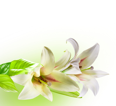 Lilies - flowers, white, harmony, nice, elegantly, flower, bouquet, beautiful, cool, lilies, drawing, art, gentle