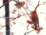 Waxwing in red