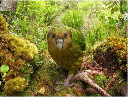 Kakapo Wallpaper Kakapo