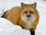 The Fox in Winter