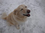 My Golden Retriever Gidget
