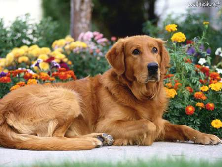 Golden Patience - golden retrievers, puppies, labrador retriever, dogs lying down, flowers, nature, animals, dogs