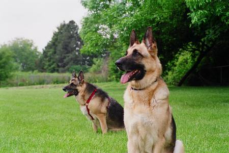Two Shepherds - guard dogs, big dogs, grass, nature, german shepherds, animals