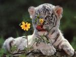 Cub Tiger