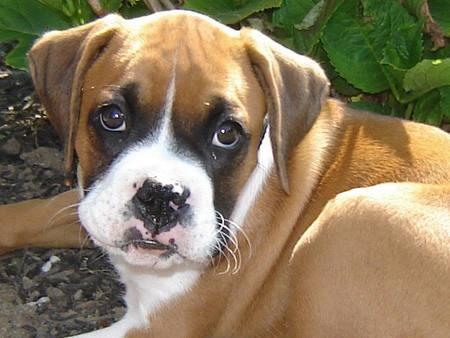 Boxer Dog Nature