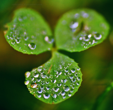 Irish Shamrock - plant, ireland, st patricks day, shamrock, green, rain