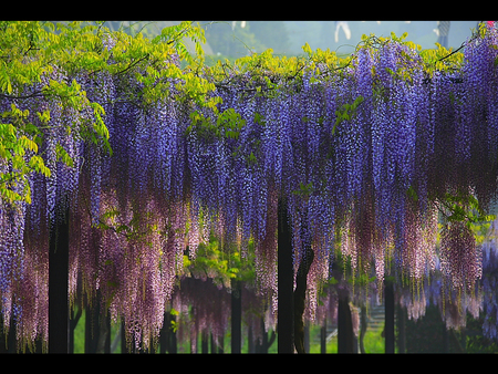 glicinija - flowers, wisteria, purple, spring, pink, amazing
