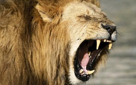 Lion - roar, wildlife, lion, cat