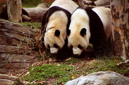 Pair of Pandas - panda, black, bears, white, couple, pair