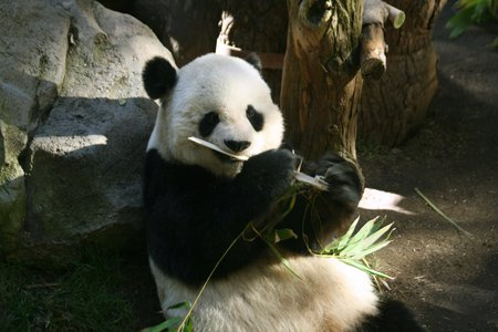 Panda - white, panda, zoo, bamboo, black, cute