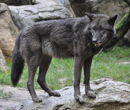 black timber wolf dogs animals background wallpapers on desktop