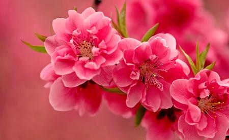 Pink spring - beauty, pink flower, flower, spring