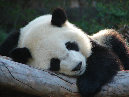 Sleeping Beauty - beauty, sleeping, baby, giant panda